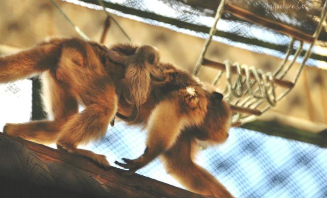 macacos no sertao de pernambuco