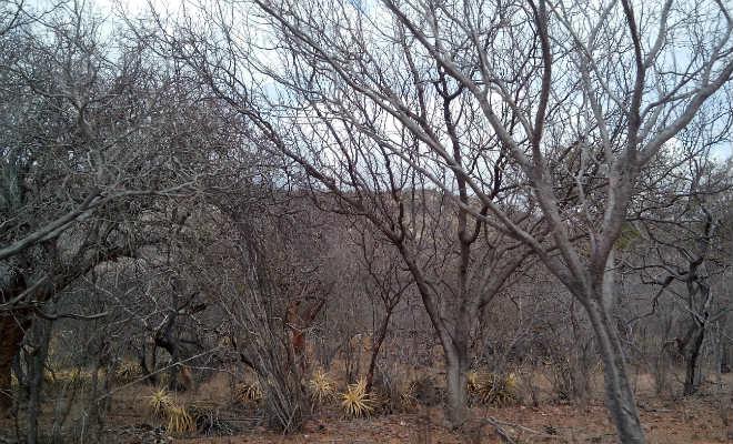 árvores ressecadas no sertão de pernambuco