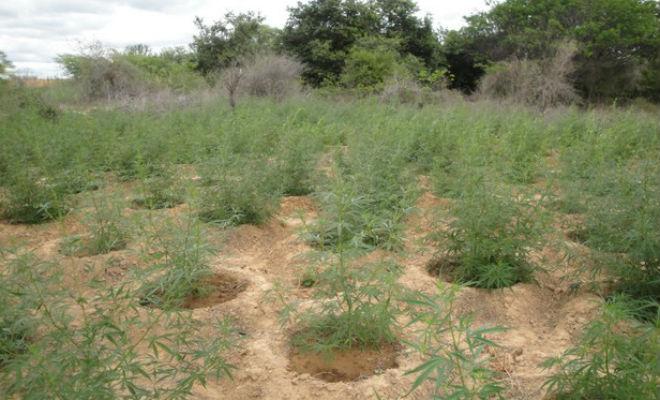 plantacao de maconha no sertao de pernambuco